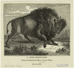 """North American Bison"". Example from the Art and Picture Collection on The New York Public Library Digital Collections"